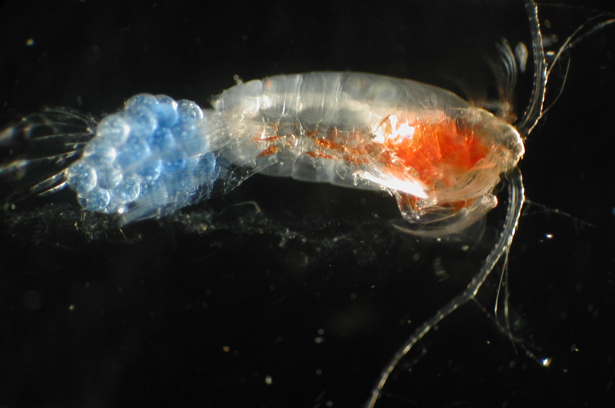 Copépodo con huevos