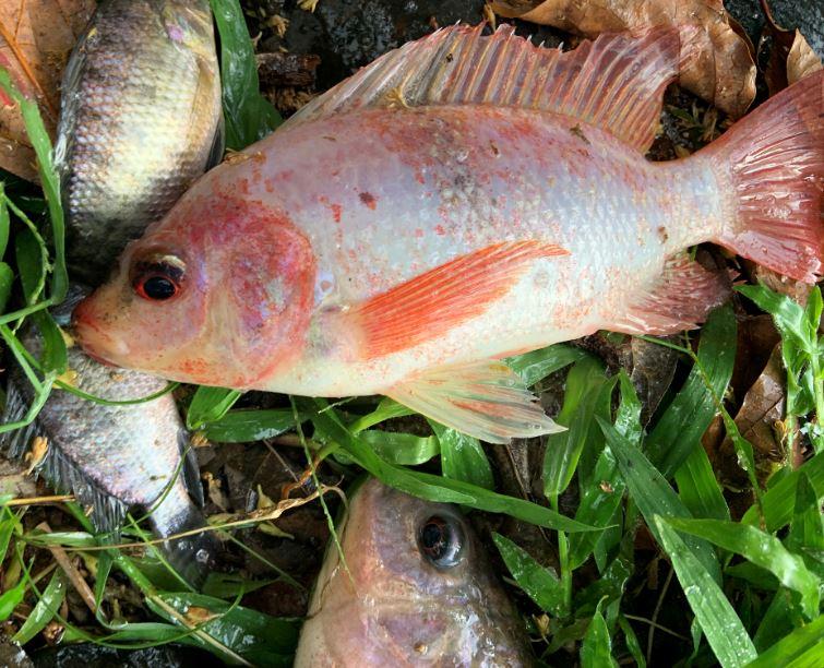Especies de Tilapia