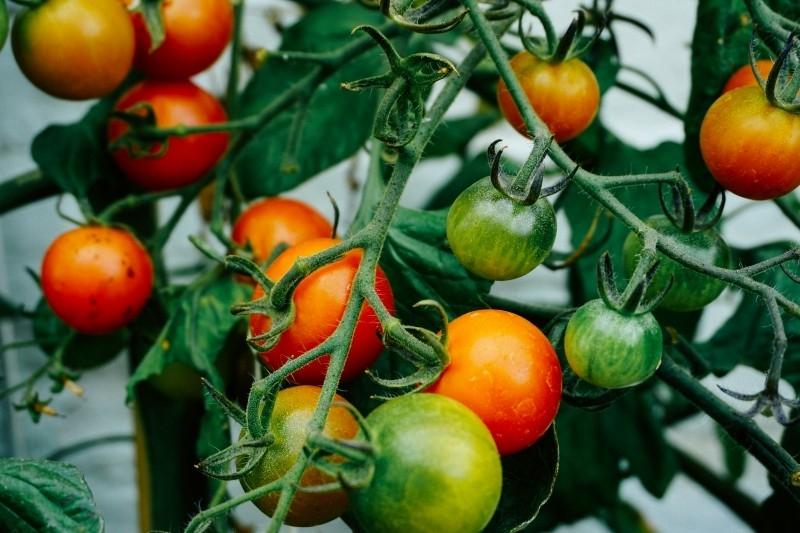 Tomate en acuaponia