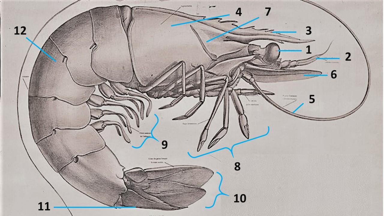 Qué es el langostino o camarón vannamei? hábtiat, alimentación etcétera
