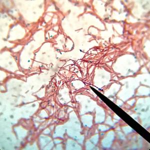 Bacillus subtilis probiotico biofloc