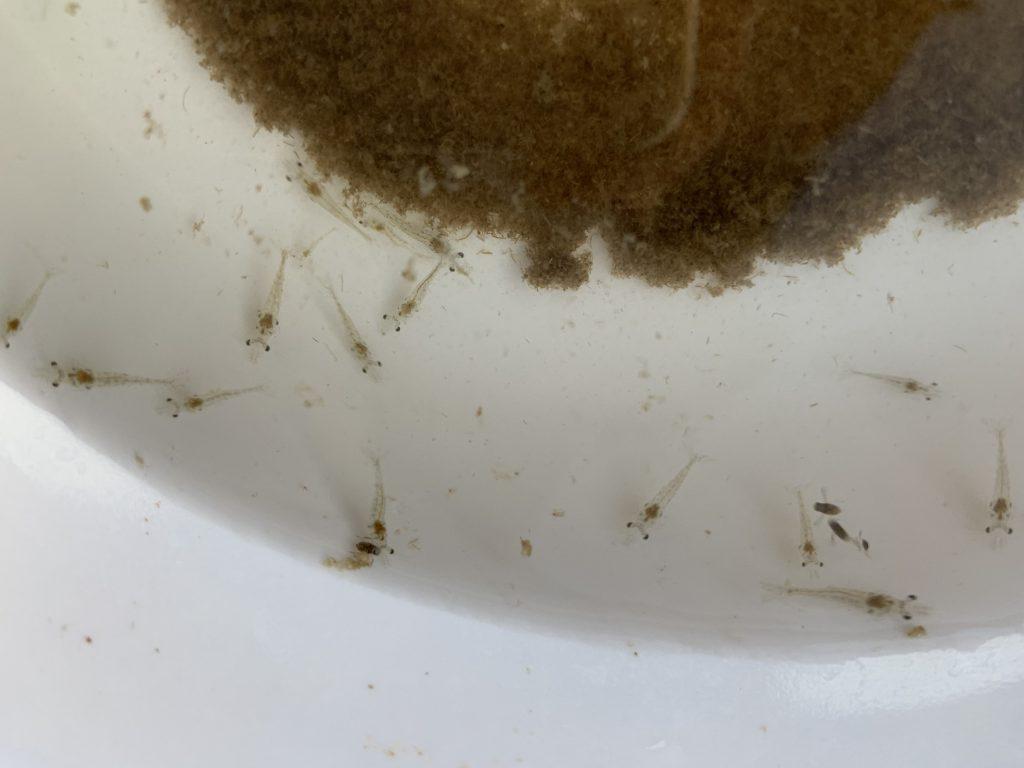 Larva de camarón alimentándose de plancton y bioflóculos