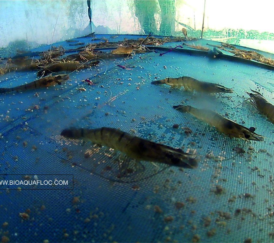 Charola o bandeja de alimentación para camarón